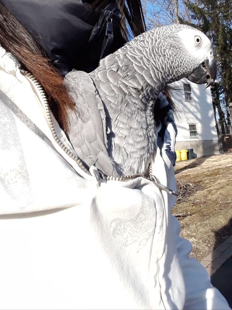 Parrot being carried inside a shirt.