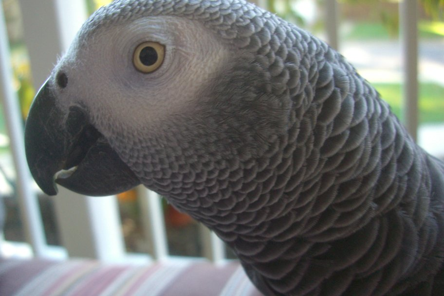 African grey parrot on front porch