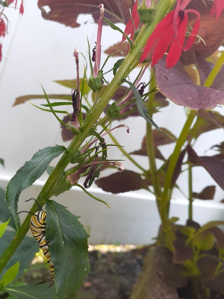 Caterpillar on cardinal flower