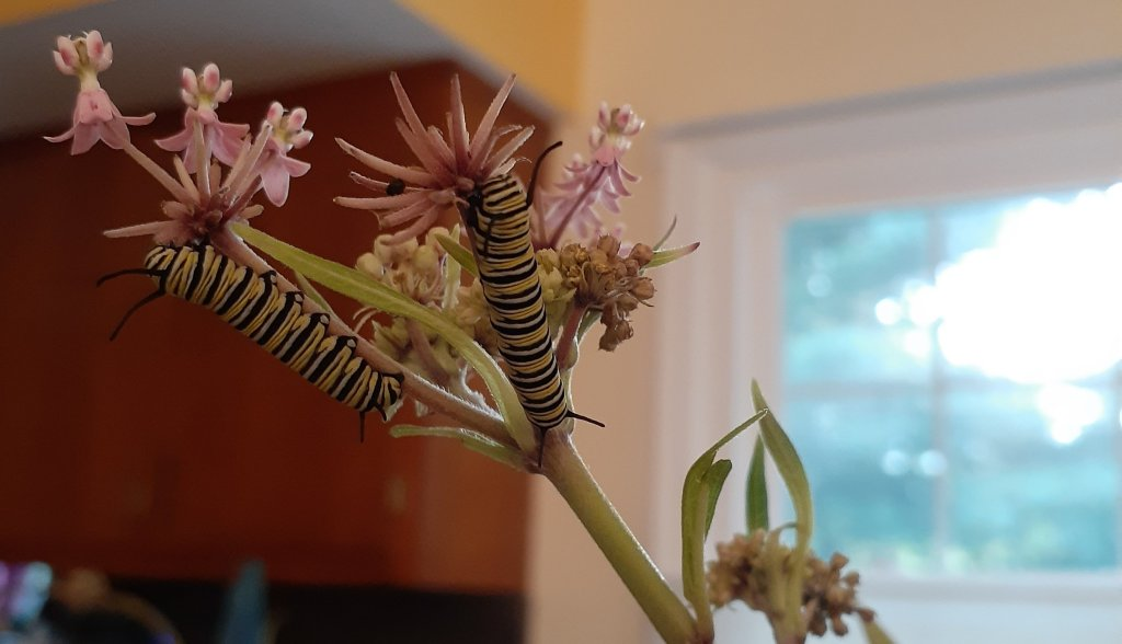 Two monarch caterpillars on a stem of milkweed.