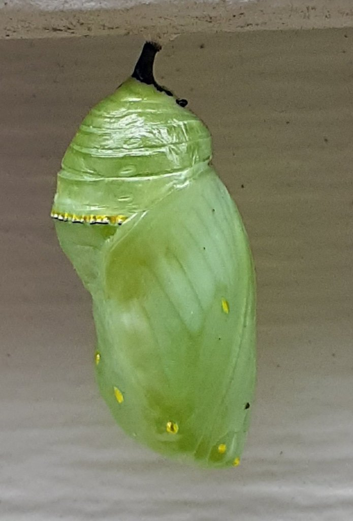 Seven day old chrysalis