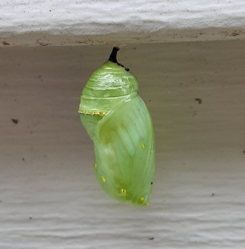 Close up of chrysalis.