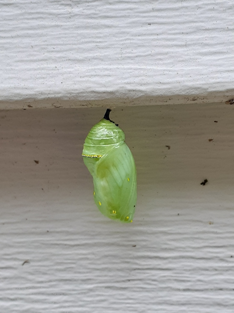 Monarch chrysalis four days later.