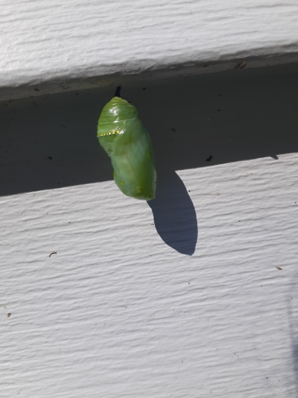 Chrysalis hanging on the side of a house.