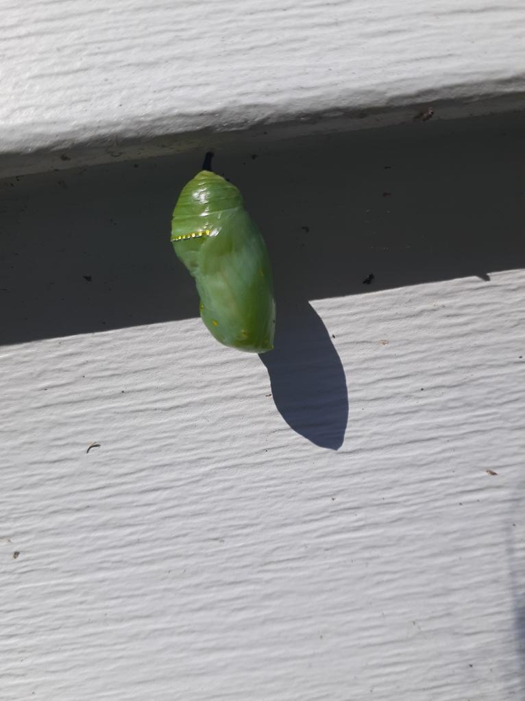 Monarch chrysalis today.
