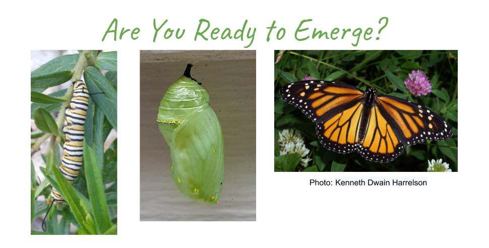 Three photos, left to right, monarch caterpillar, chrysalis, butterfly