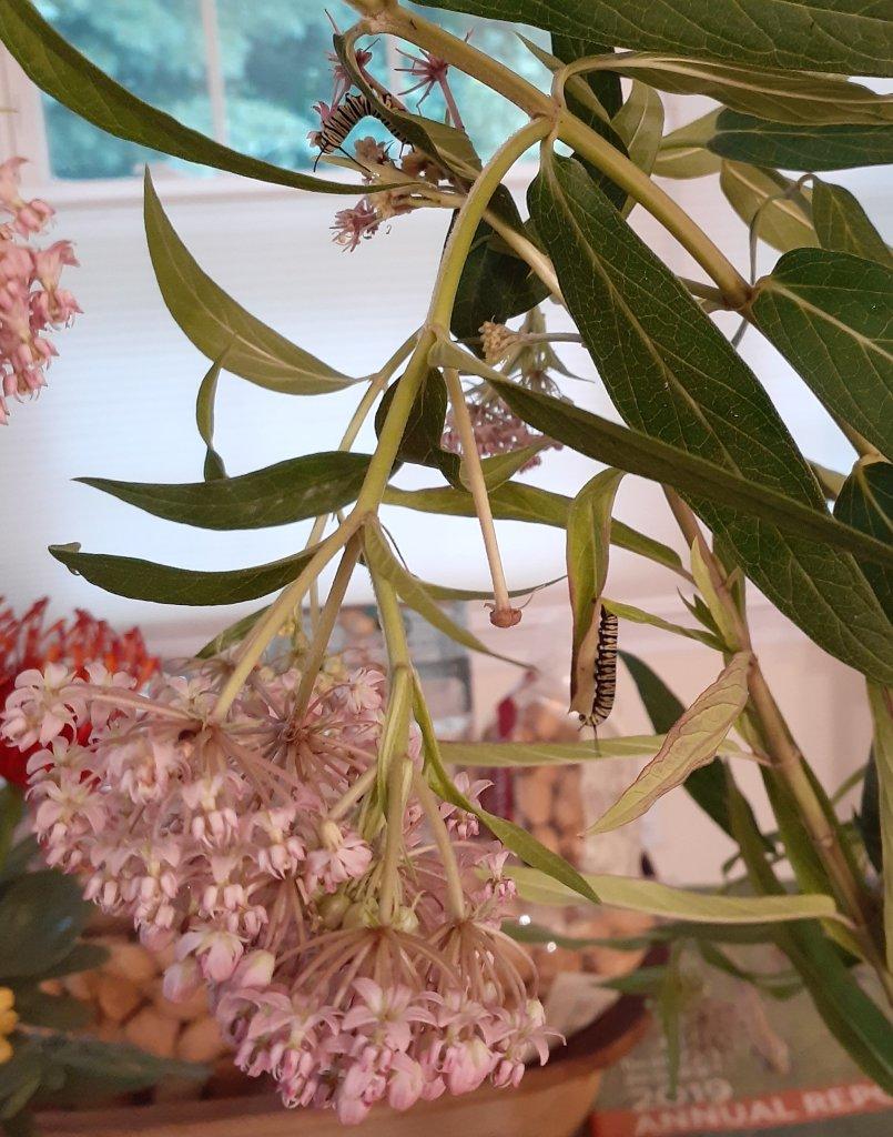 Two monarch caterpillars on milkweed.