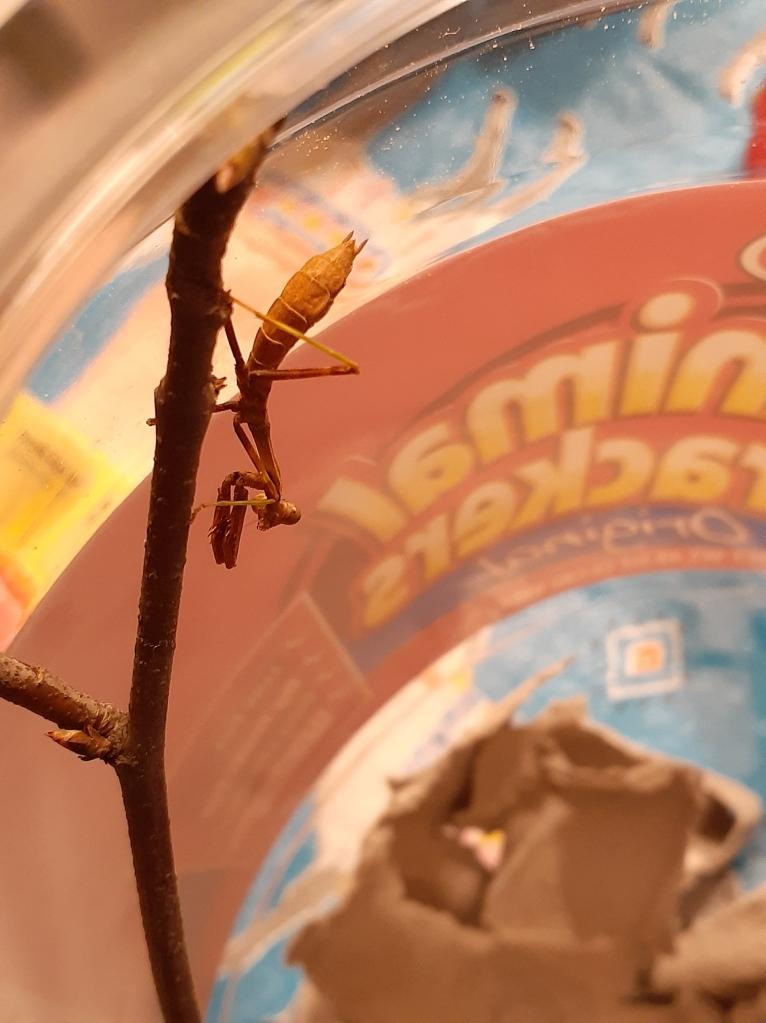 Mantis on a stick in a jar.