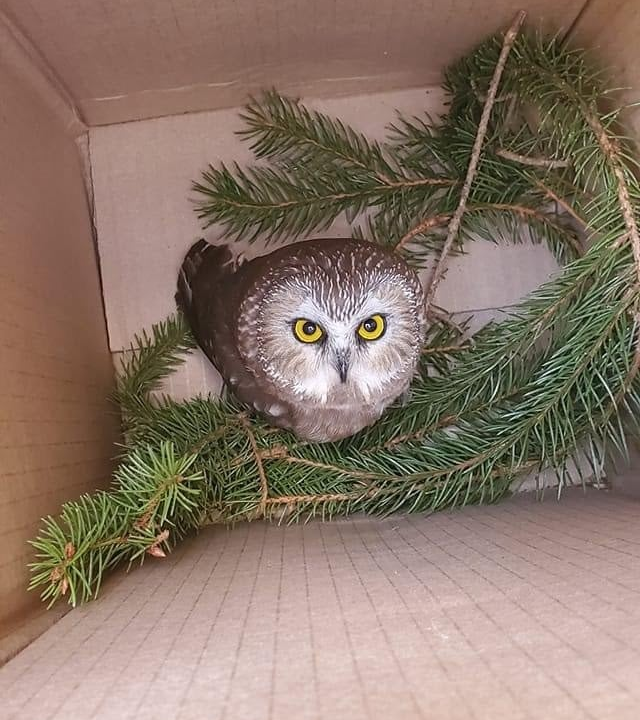 Northern Saw Whet Owl in a box.